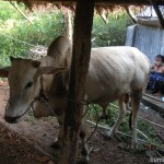 A cow next to a cowgirl at the village near Shwekyin in Myanmar